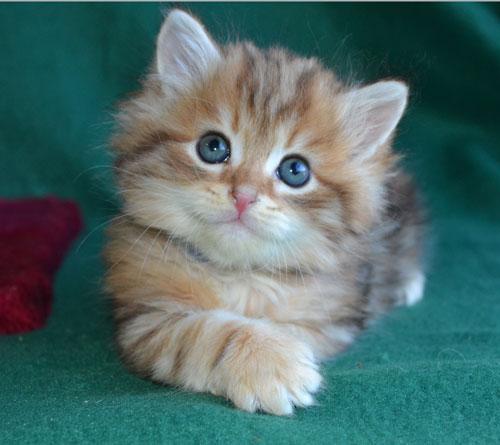 Pet Food for your Russian Siberian Kitten