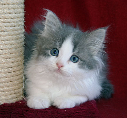 gray and white siberian