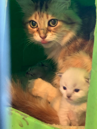Siberian Cats & Kittens for sale in Texas