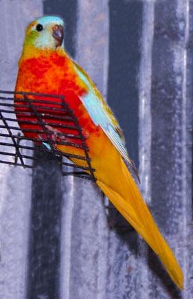 Australian Parakeet Breeder and Australian Parakeets for Sale Texas