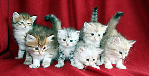 Russian Siberian Kitten Red and Silver