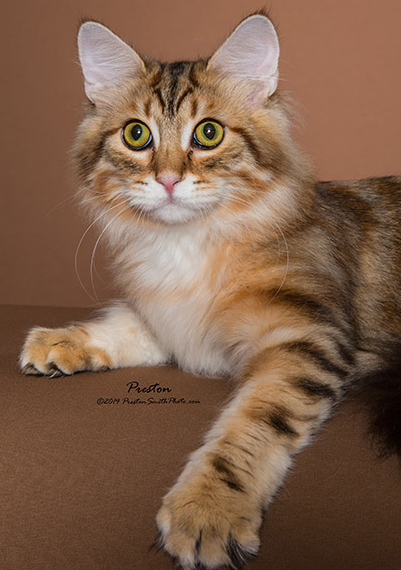 Siberian Cats And Kittens For Sale In Texas From Russia Are Hypoallergenic To Most People
